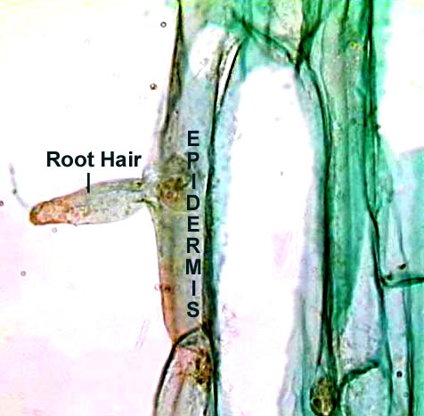 Root Hairs Microscope Root Hairs Under Microscope