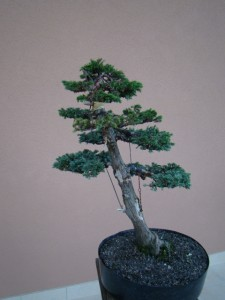 bonsai osnove