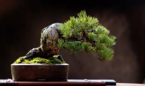 slika Bonsai Empire